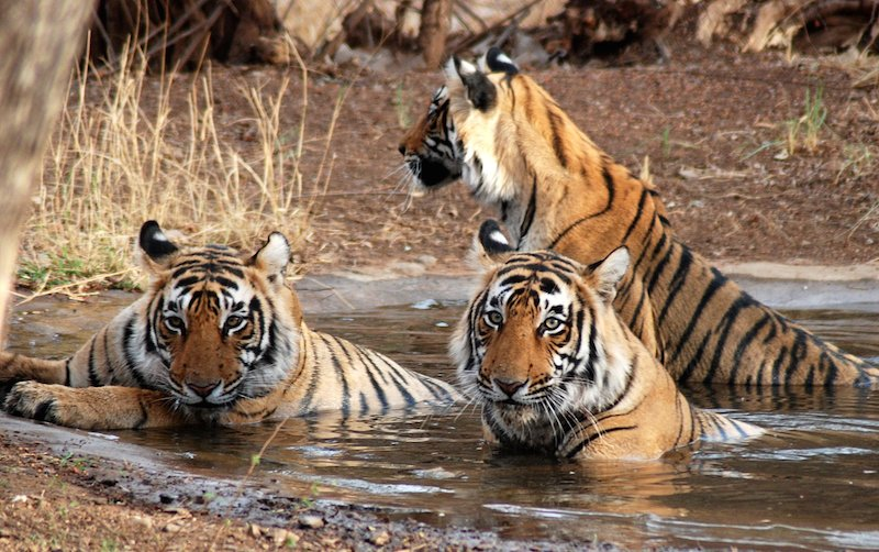 QUICK BYTES: A tigress and her four cubs are winning hearts at Corbett