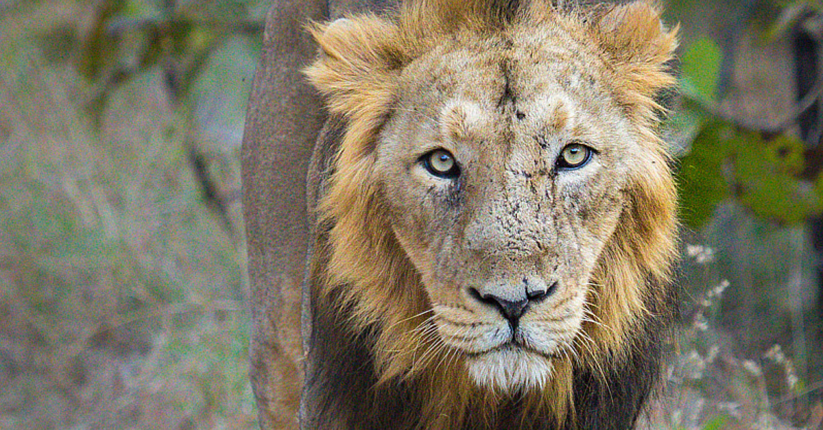 Population Of Asiatic Lions Increased Considerably In Gir Wildlife Sanctuary: Lion Census
