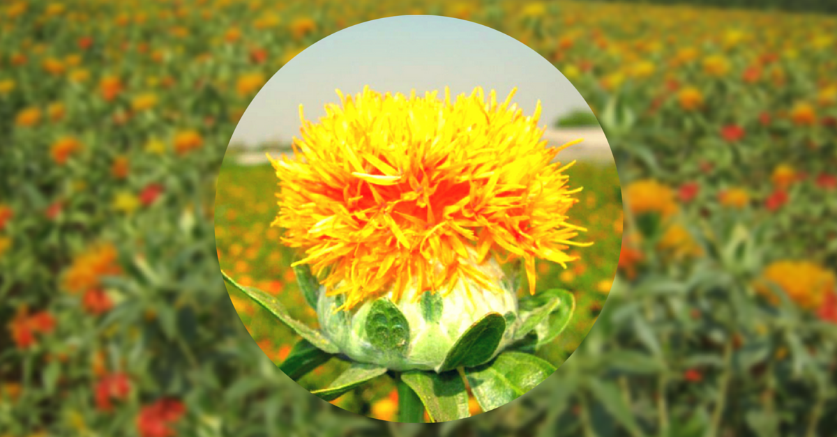 These Hybrid Varieties of Safflower Can Shake Up Agriculture and Farmer Income in the Dry States