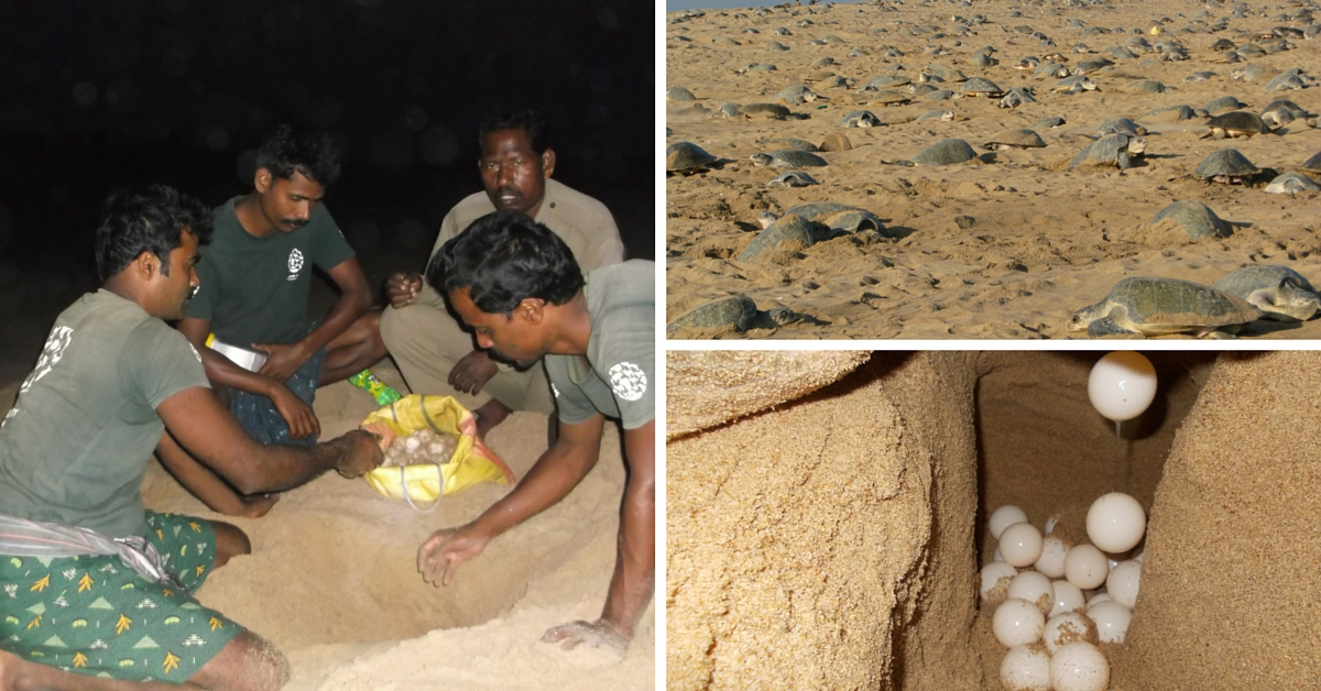 Olive Ridley Turtles Have Better Chances of Survival Today, Thanks to These Odisha Villagers