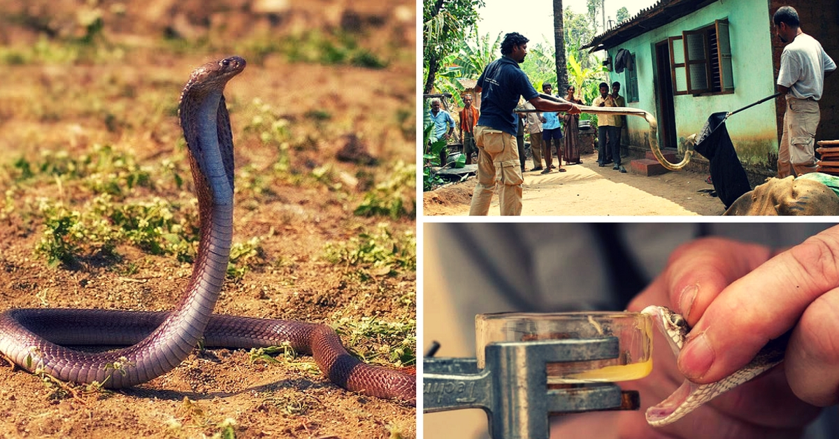 This Simple Initiative Is Saving Snakes as well as Snakebite Victims in India
