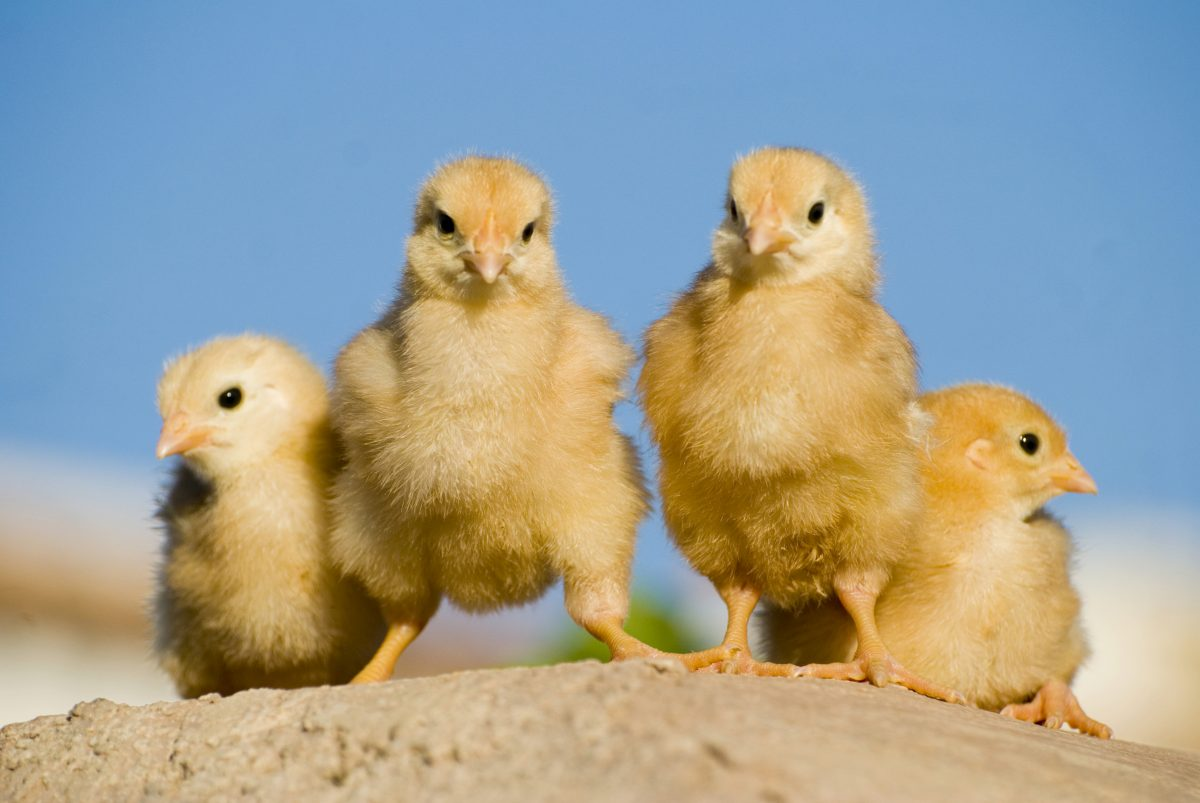 TBI Blogs: You Can Help End Cruelty Against Hens and Chickens in Factory Farms. Here's How!