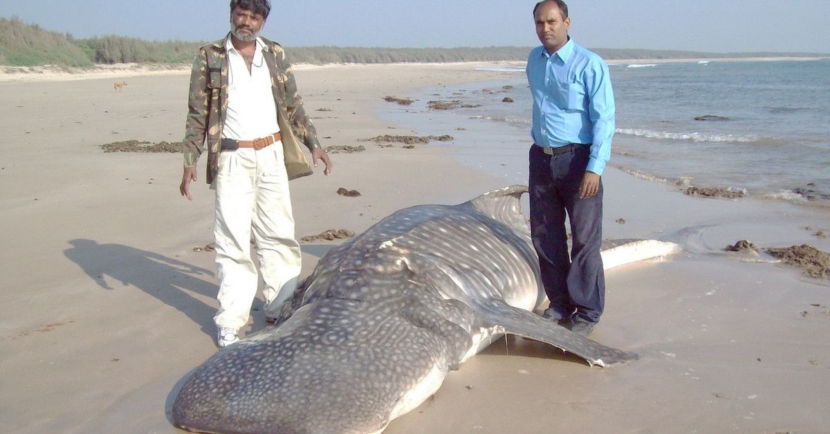 How an Ordinary Labourer From Gujarat Ended up Saving 500+ Whale Sharks in 20 Years!