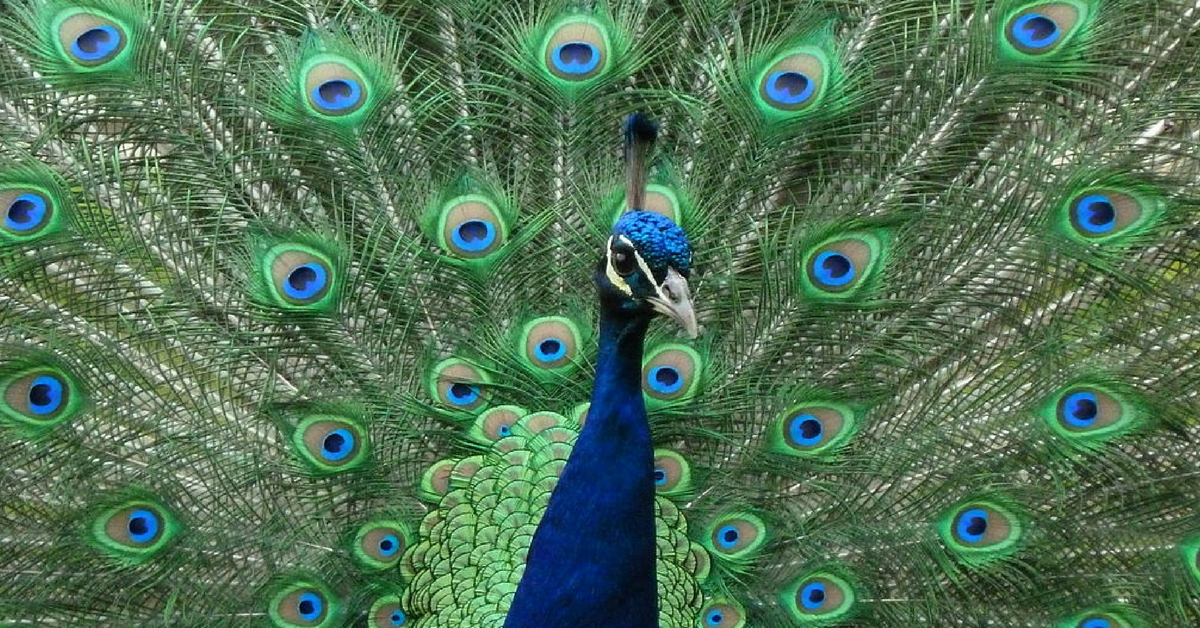 Rajasthan Judge Says Peacock Is National Bird Because It Does Not Have Sex, Internet Explodes