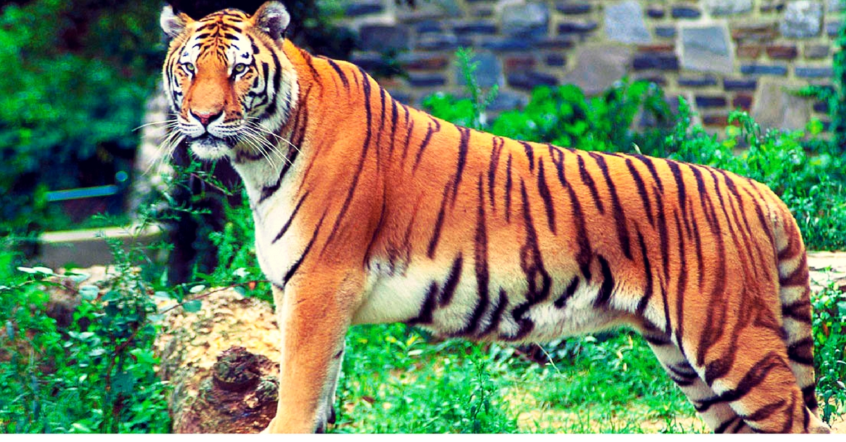 Tiger Count up by 60 in 3 Years, Uttarakhand May Soon Become the Tiger Capital of India!