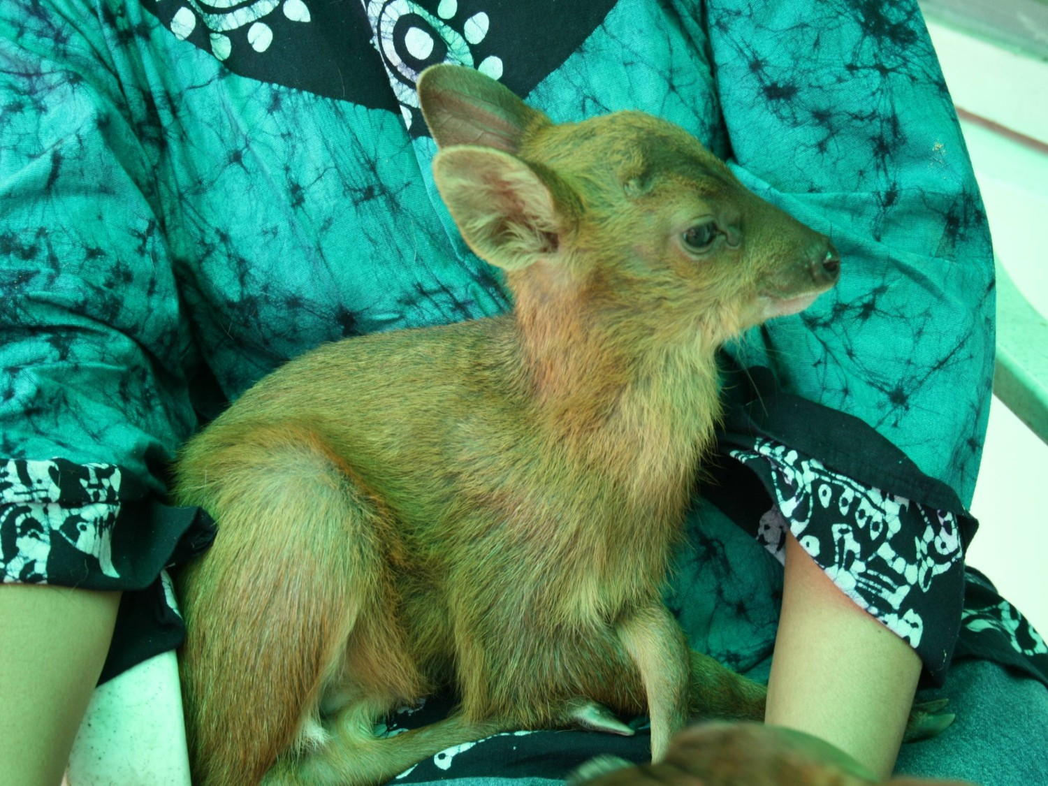 With Puris and Hay: How One Family Rescued & Raised Rudy, The Barking Deer