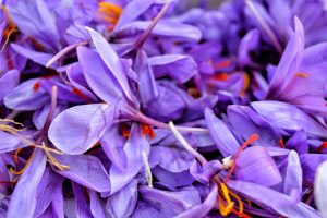 Recently harvested saffron flowers. Image By: Qazi Wasif