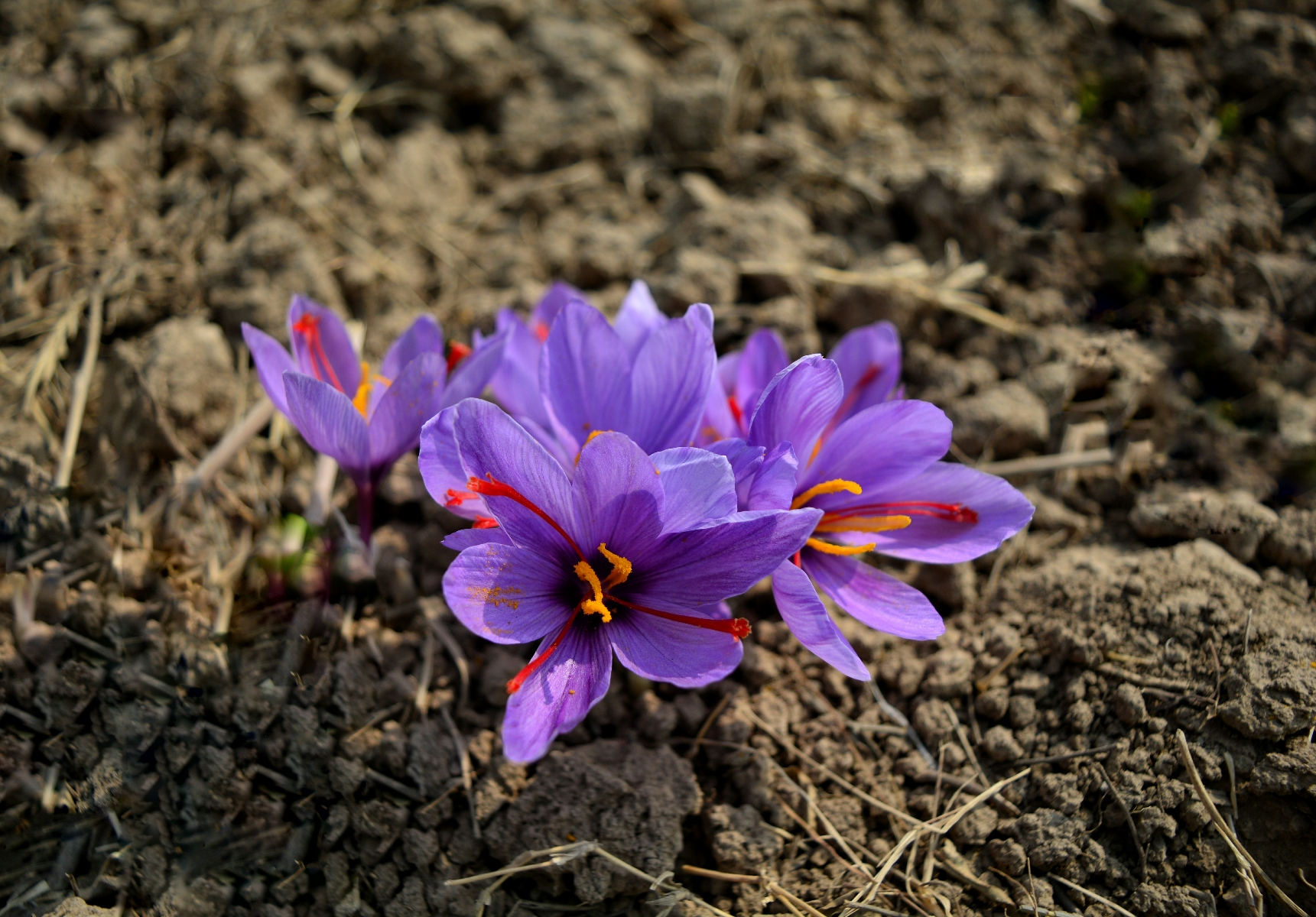 A blooming saffron flower. The three maroon colored stigmas is the spice.