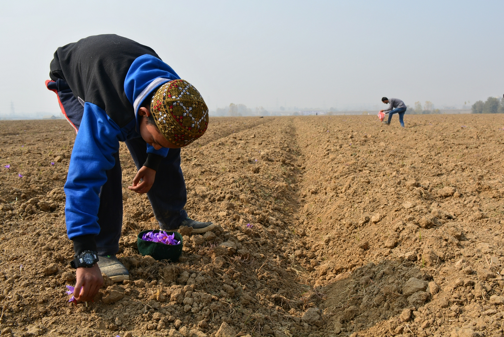 A boy uses his hat to collect saffron. It is usually collected in a small wooden basket.
