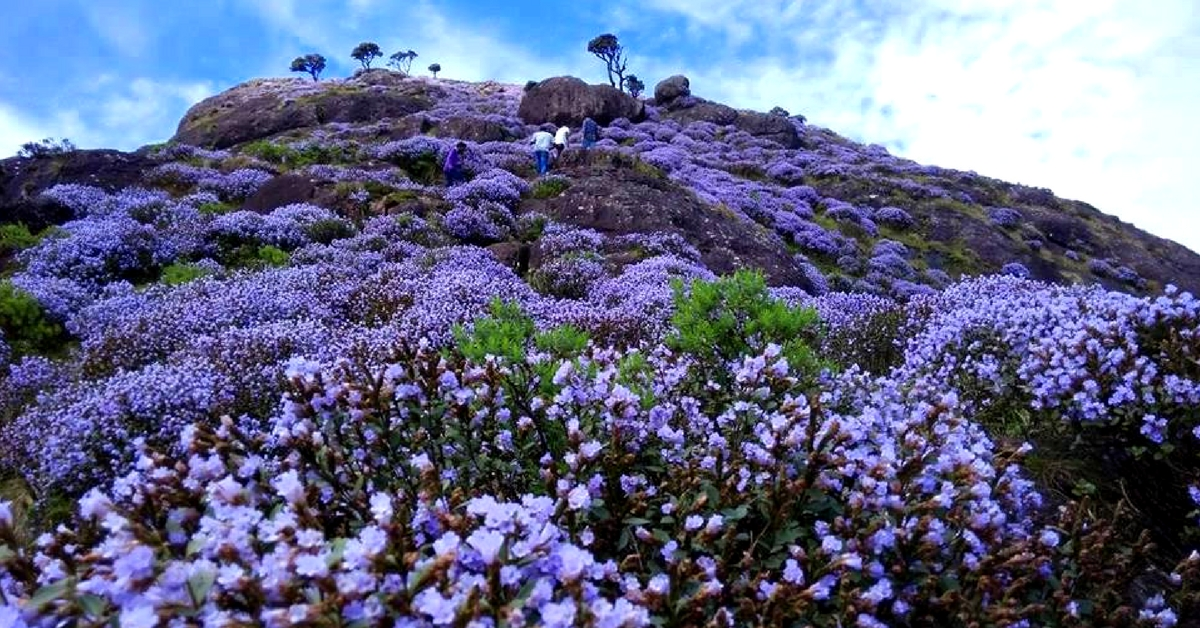 Painting the Niligiris Blue Once in 12 Years, Behold the Mysterious Neelakurinji