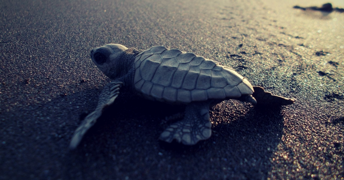 DRDO Goes the Extra Mile to Give the Olive Ridley Turtles a Bright Future