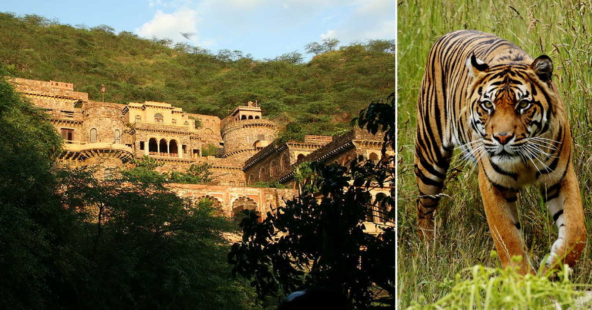 Video: How The Lost Tigers of Alwar's Sariska Made a 'Royal' Comeback