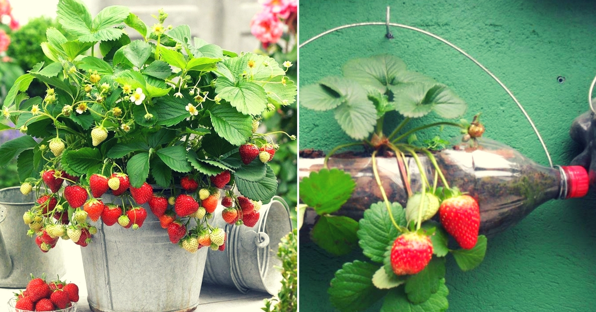 Follow These Easy Steps And Grow Your Own Organic Strawberries At Home!