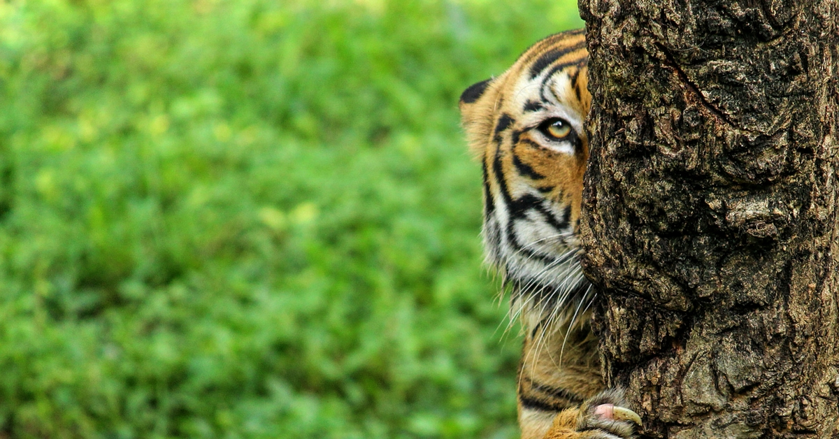 Tiger Check! This Year's Estimate to Be Undertaken Through an App!