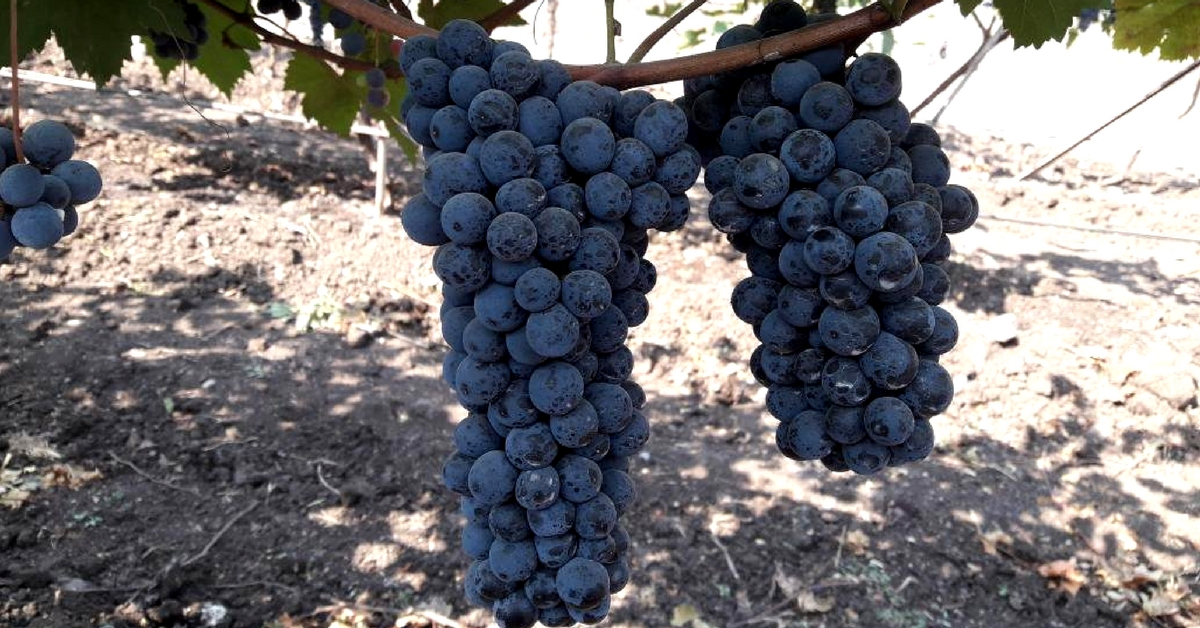 New Variety of Grape With Medicinal Properties To Boost Farmer Incomes!