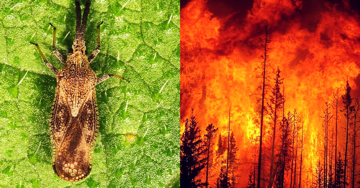 Bengaluru Scientists to Use Mexican Bugs to Tackle Wildfire-Causing Forest Weed!