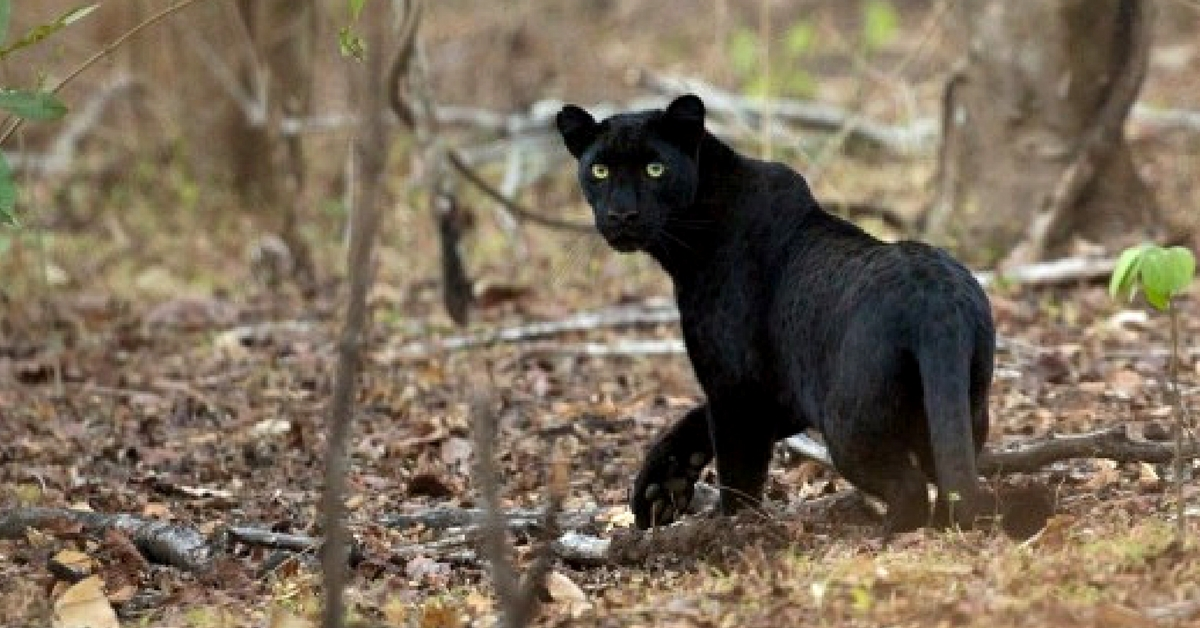 Special Sighting: 'Bagheera' Spotted in Chhattisgarh After 24 Years!