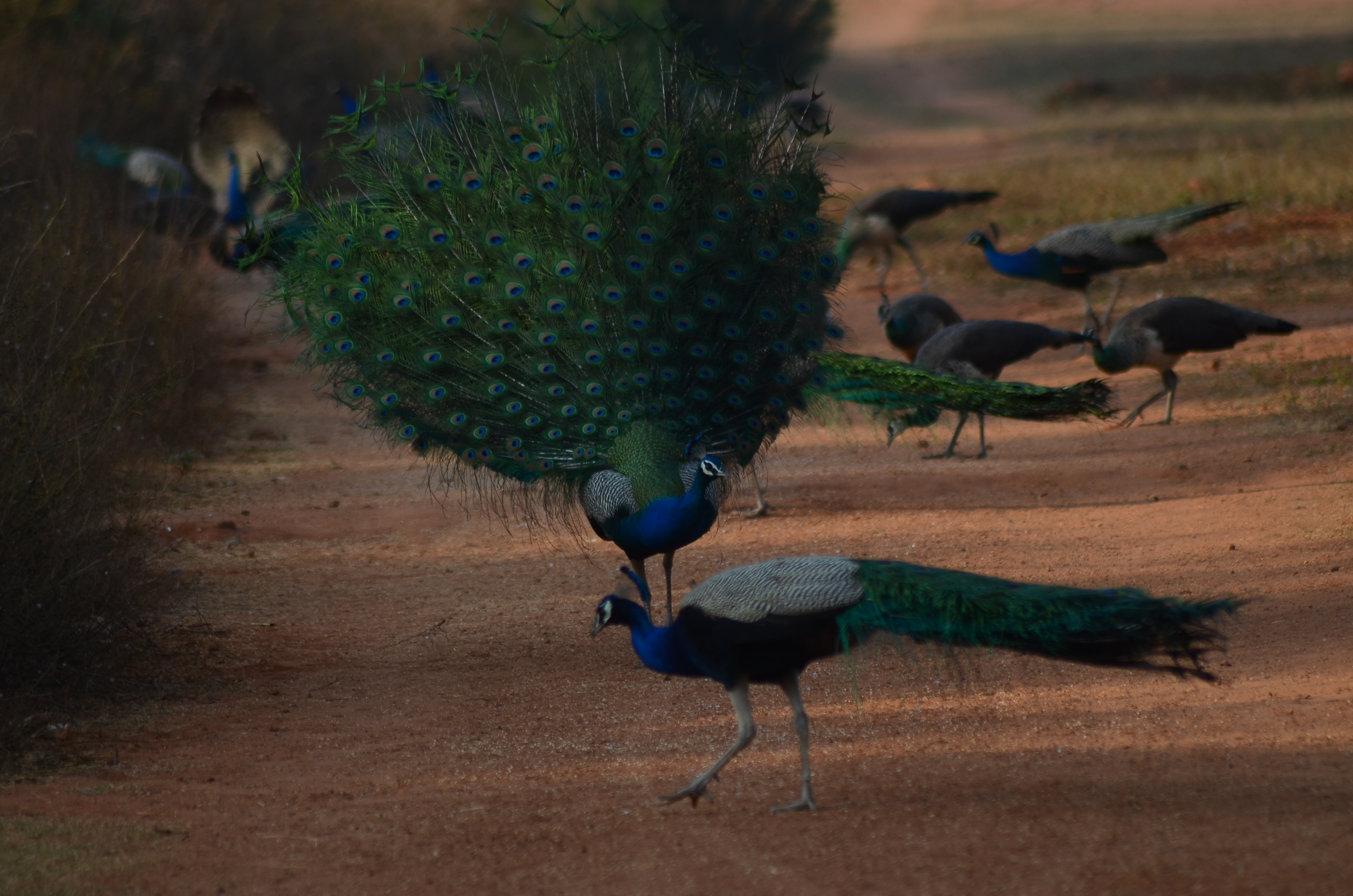 PEACOCK in the valley