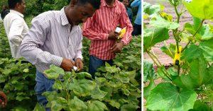 Pheromone based pest control