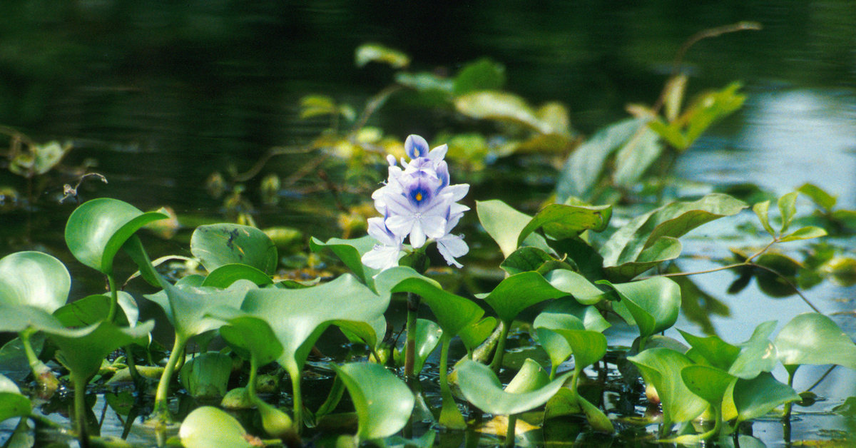 Water Hyacinth Destroying Lakes? IICT Makes 100 Tonne Organic Manure From It!