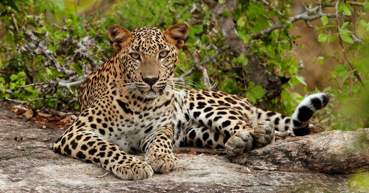 In Dramatic Rescue, Mother & Grandma Fight Back Leopard to Save 3-YO Boy!