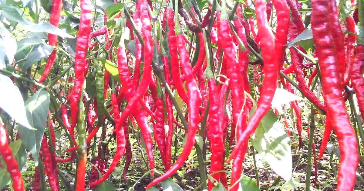 Spicing It Up: How One of World's Hottest Chillies is Sustaining an Entire Manipur Village!