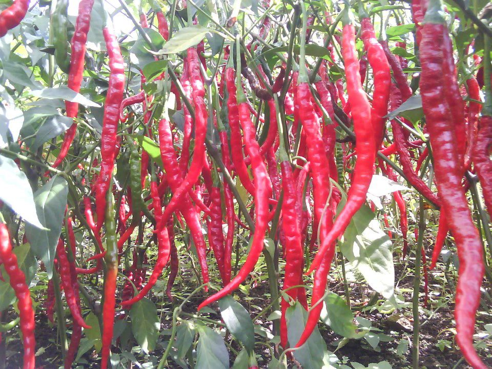 Sirarakhong chilli. Source: Facebook/ Sirarakhong Hathei Phanit (chilli Festival)