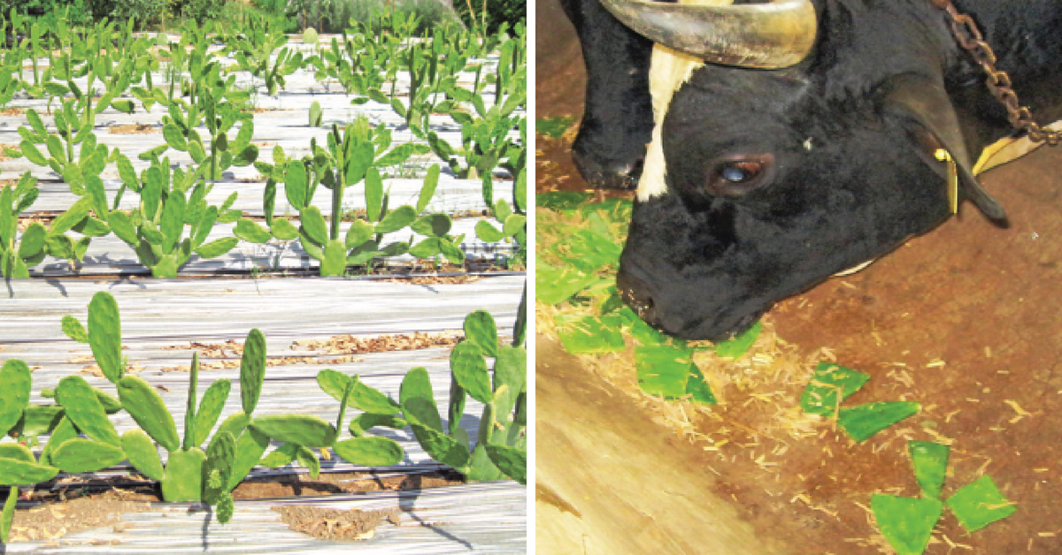 Cattle To be Fed Cactus? Here's Why It's Good For The Farmers And Us!