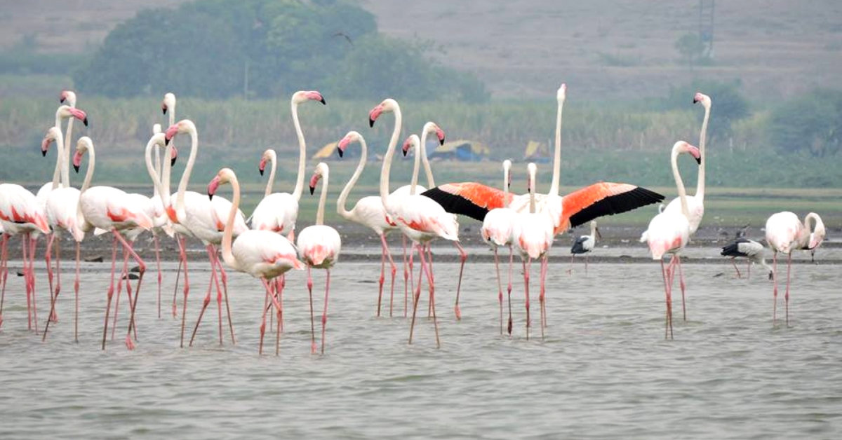 Graceful flamingos at Bhigwan, Maharashtra. Image Credit; Jay Apte