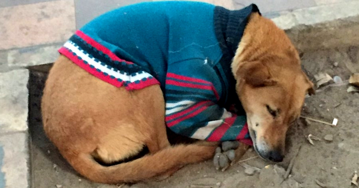 Delhi Gives Sweaters to Its Stray Dogs to Help Them Stay Warm This Winter! Check out Pics
