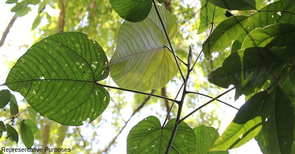 All The Way From Nicobar, Kerala Researchers Root for 'Giant Leaf' to Beat Plastic