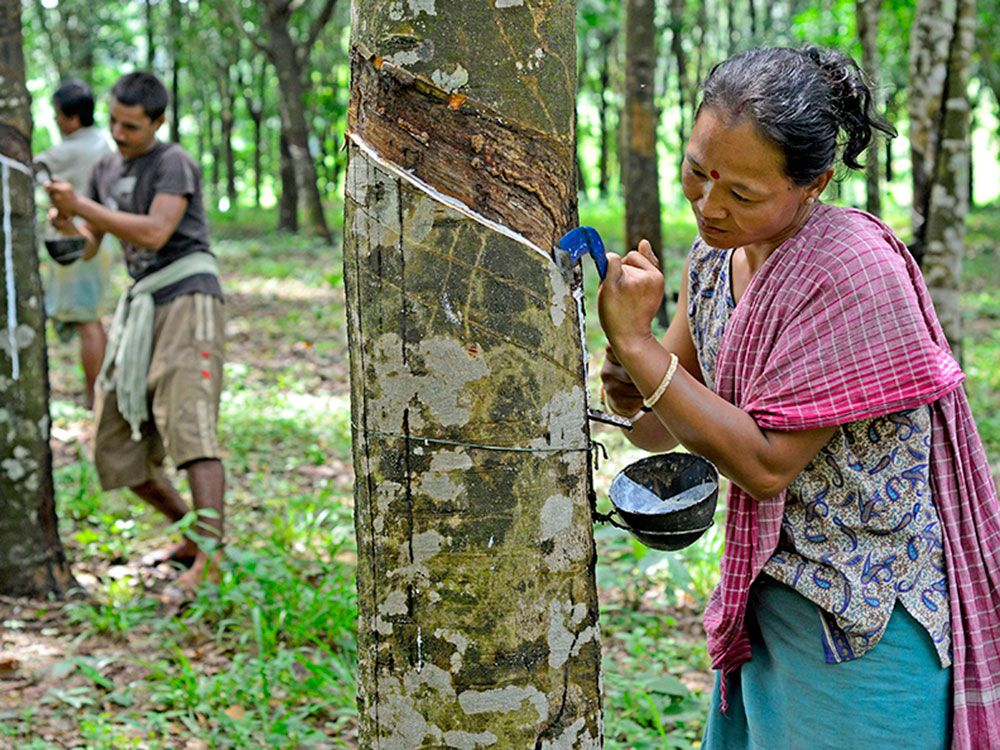 Extracting rubber. (Source: World Mission Magazine)