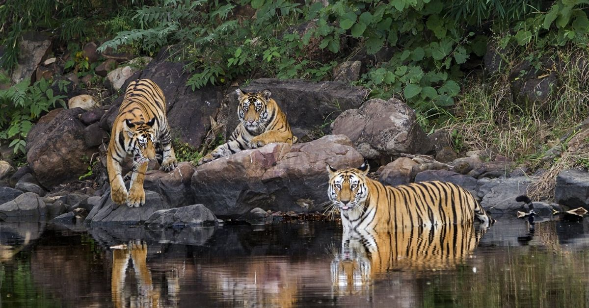 0 to 54: The Untold Story of How Panna Got Her Tigers Back in Just 10 Years