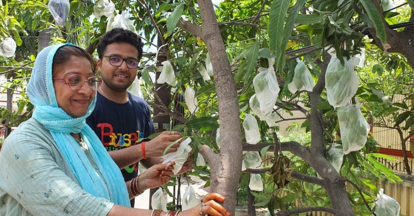 Innovative Mask Helps Mother-Son Duo Boost Chemical-Free Mangoes Harvest by 15%