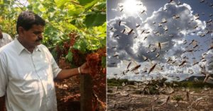 telangana organic locust pesticide