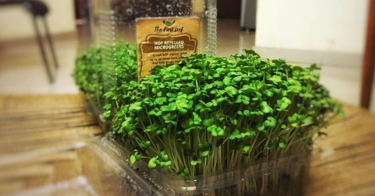 How to Grow Nutritious Microgreens At Home Using A Simple Kitchen Ingredient
