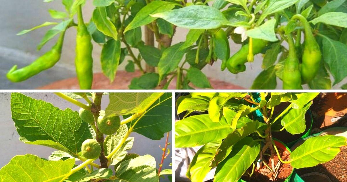 Batatas aéreas para laranjas de Israel, 67-YO cresce 200 plantas no terraço 6