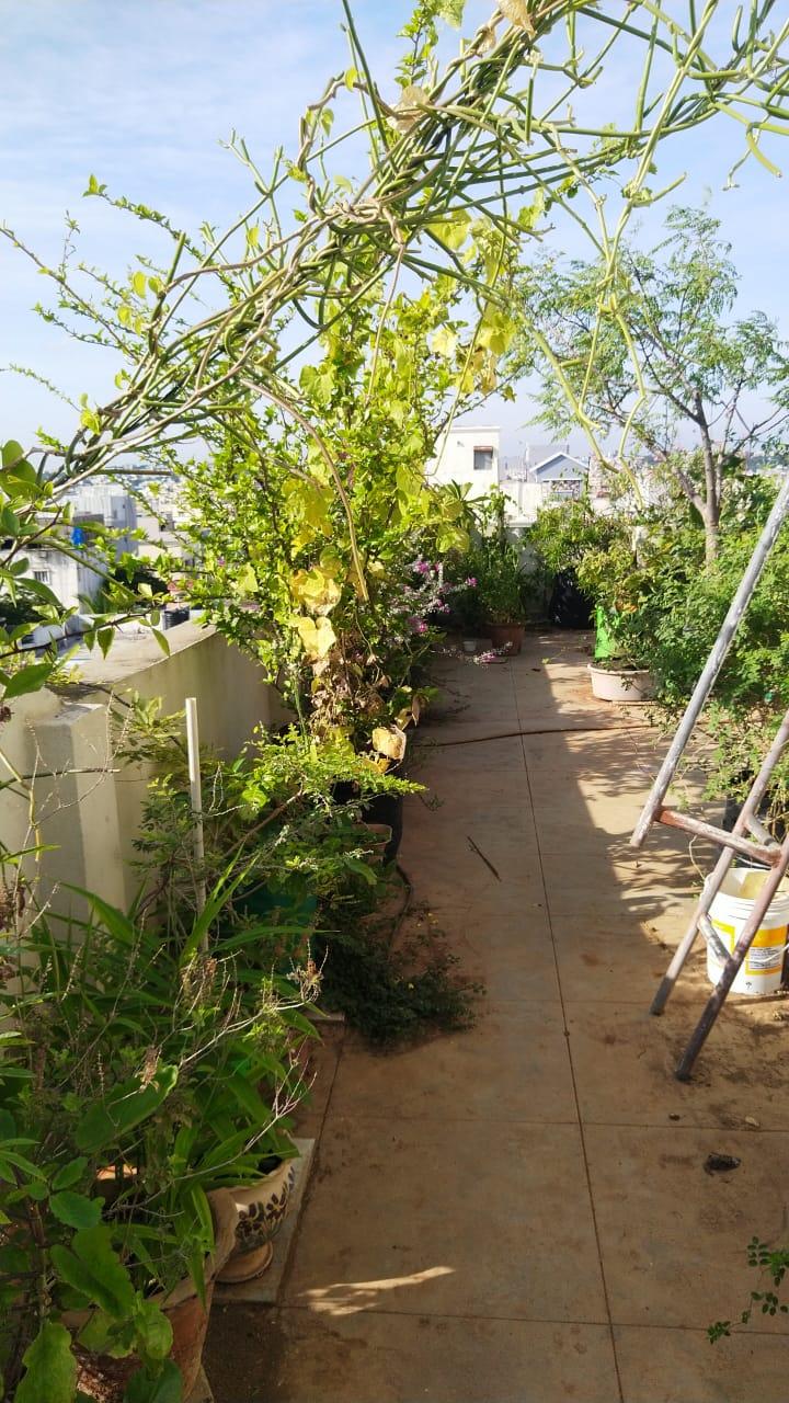 Batatas aéreas para laranjas de Israel, 67-YO cresce 200 plantas no terraço 5