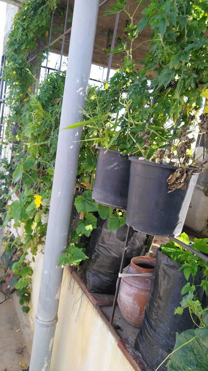 Batatas aéreas para laranjas de Israel, 67-YO cresce 200 plantas no terraço 8