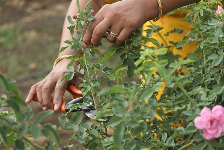 Donas de casa transformam rosas orgânicas em produtos naturais, ganham em lakhs 6