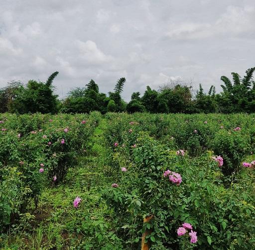 Donas de casa transformam rosas orgânicas em produtos naturais, ganham em lakhs 4