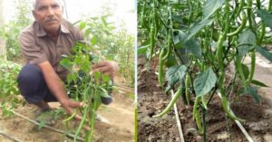 Organic Farmer Grows All-Natural Foot-Long Green Chillies