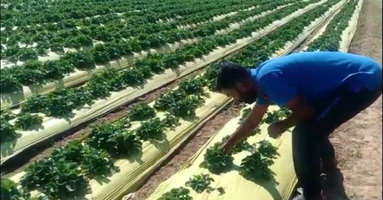Dharward Farmer's Strawberries Earn Rs 6 Lakh, Shares Tips For Home Garden