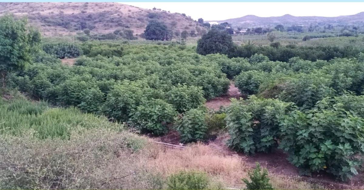 Farm Figs